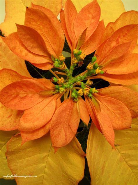 unusual poinsettia colors at longwood gardens https www facebook com