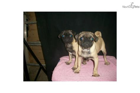 pug breeders in nj meet m f available a pug puppy for sale for 550 pug nj ny ct md de ma