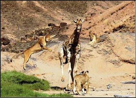 imagenes de leones cazando jirafas una manada de leones cazando una jirafa videos de animales