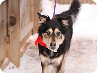 puppies for adoption in fort collins best 25 chow chow husky mix ideas on