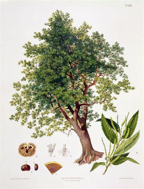 Home Decor Online Sales Sweet Chestnut Drawing By Johann Kautsky