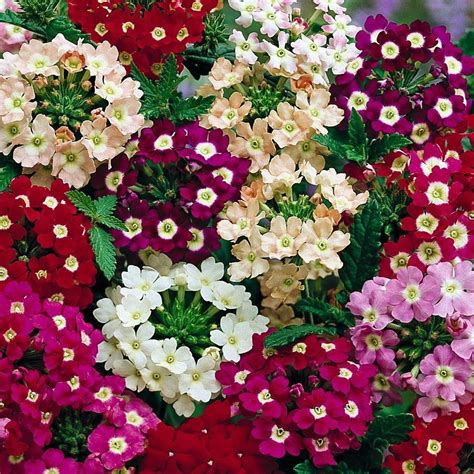 Benih Seeds Bibit Flower Phlox Drummondii Mixed Annual Phlox Wildflower Seeds Beatuiful And Unique jual benih seeds bibit flower phlox drummondii mixed