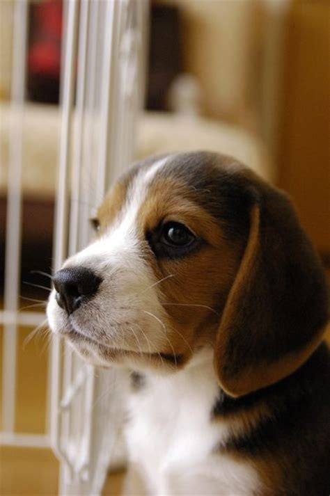 beagle puppy names 17 best images about beagles on beagle puppies beagle names and pets