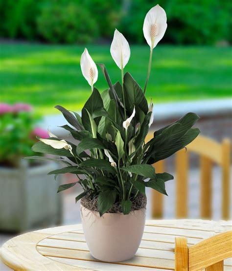 Home Interior Direct Sales A Peace Lily Planter Beneva Com