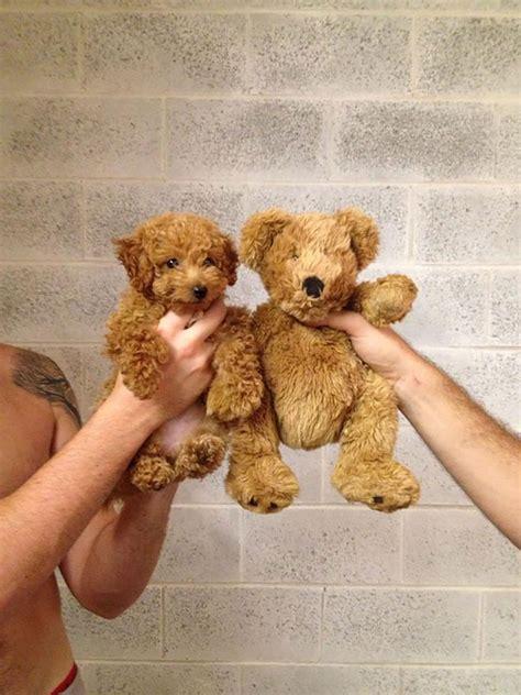teddy puppies 23 puppies mistaken for teddy bears