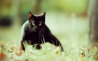black kitten hd wallpaper black cat zusehen hintergrundbilder black cat zusehen