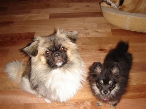 pekingese pomeranian puppies peke a pom puppy at 9 weeks pomeranian pekingese hybrid breeds picture