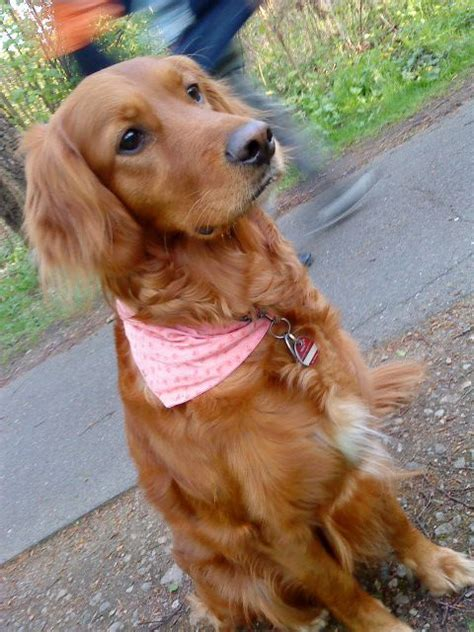 golden retriever died 25 best ideas about setter puppies on setter dogs setter