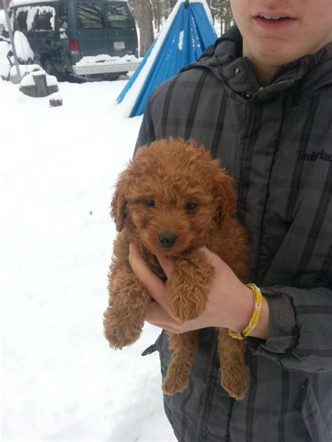 puppies for sale in peoria il for sale illinois breeder poodle puppies miniature poodles puppy poodle puppies