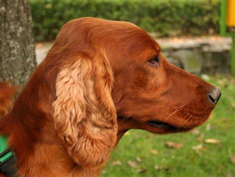irish setter dog wiki file seter irlandzki profil 5o899 jpg wikipedia
