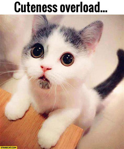 Cute Overload Meme - cuteness overload cute kitty starecat com