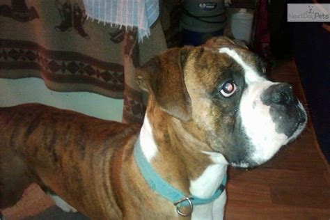 boxer puppies for sale in tennessee boxer for sale for 300 near chattanooga tennessee 30fb55fe 3211
