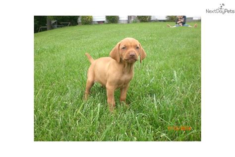 vizsla puppies for sale in michigan vizsla puppies in michigan for sale vizsla puppies sale queensland breeds picture