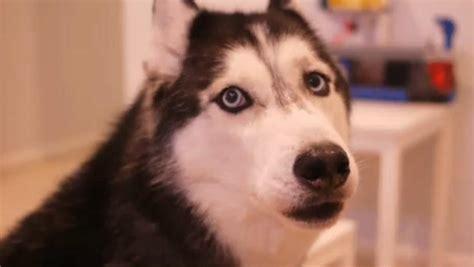 talking husky puppy mishka the talking husky sings auto tuned song quot mishka s ballad quot cbs news