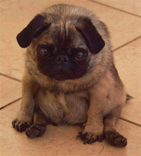 reasons to get a pug the pug ultimate tree the 28 images 10 reasons why we