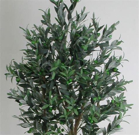 ulivo in vaso prezzo piante olivo prezzi olivo ulivi piante centenarie