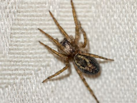 File Domestic House Spider 9680284979 Jpg