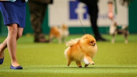 crufts pomeranian pomeranians a must read introduction