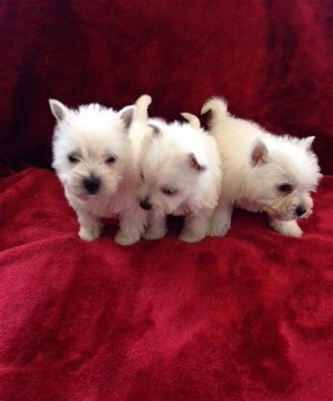 trained puppies for sale highland clasf