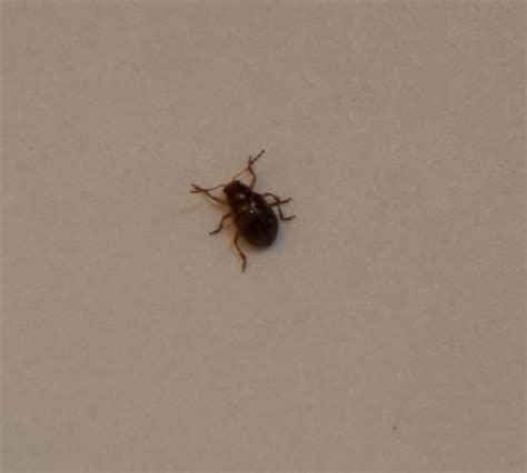 where are bed bugs found bed bug found in embassy suites close up picture of