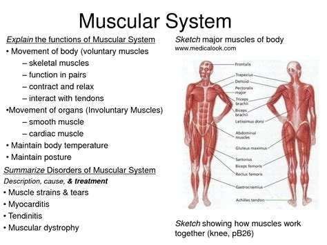 A Tour Of Your Muscular And Skeletal Systems muscular system facts the human muscular system