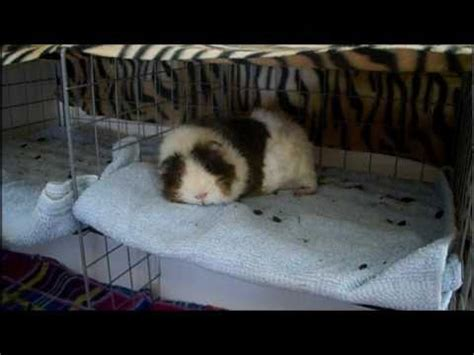 pine bedding for guinea pigs guinea pig items to avoid youtube