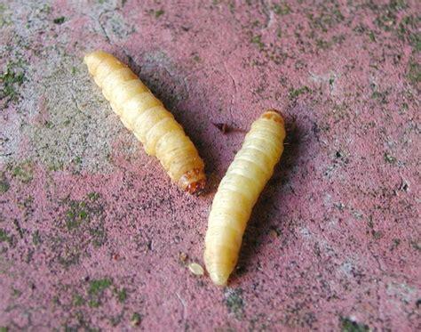 verzellino alimentazione allevamentofringillidiepappagallini sigratis it allev