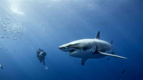 great white shark dive scuba diving with a great white shark graphic ashen