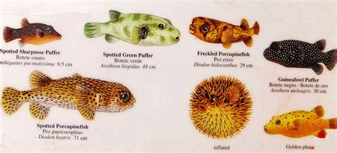 puffer fish puffer fish card the cruisington times