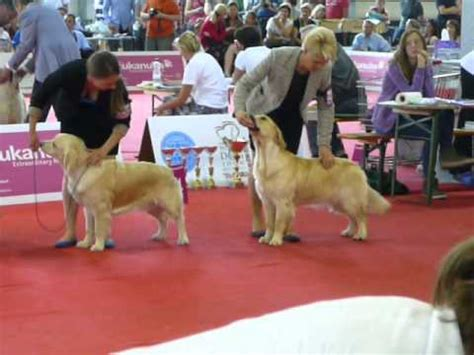 westminster golden retriever 2016 southern golden retriever display team crufts 2016 funnydog tv