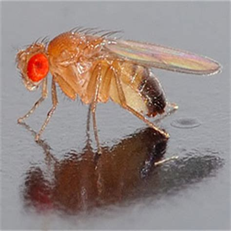 Cluster Flies In Kitchen by How To Get Rid Of Fruit Flies How To Get Rid Of Stuff