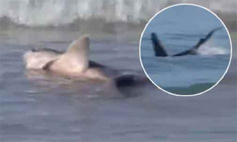 killer whales launch surprise attack  school  sharks