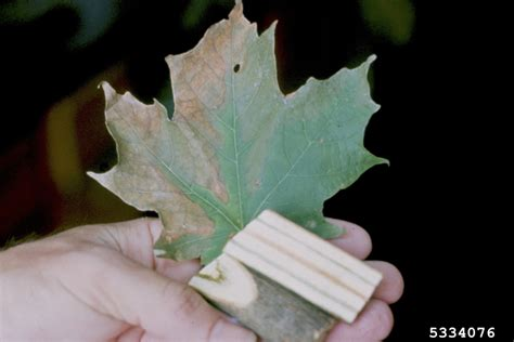 maple tree wilting leaves verticillium wilt verticillium dahliae on sugar maple acer saccharum 5334076