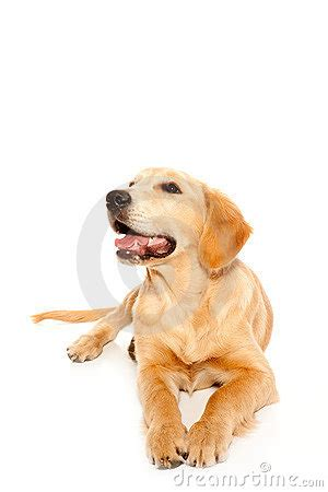 your purebred puppy golden retriever golden retriever puppy purebred royalty free stock photography image 21892807