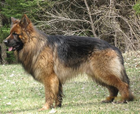 haired german shepherd desktop haired german shepherd pictures 3d hd colour bullies and