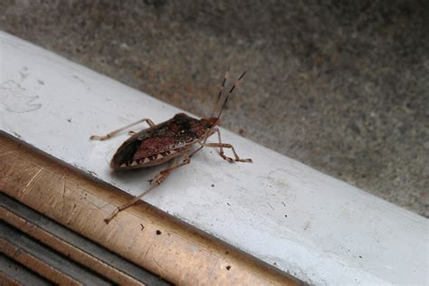 stink bugs in house stink bug invasion it s as bad as you think