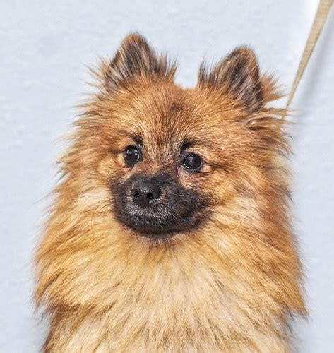 teddy pomeranian rescue teddy pom oregon rescue i pomeranian s oregon pets and search