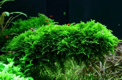 the aquatic plant society vesicularia montagnei