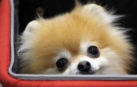 pomeranian husky calgary most popular breeds in canada according to