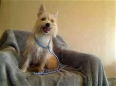 baldwin park pound 1000 images about dogs that look like my marilyn on cairn terriers