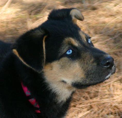 german shepherd puppies delaware the 25 best black german shepherd puppies ideas on black german shepard