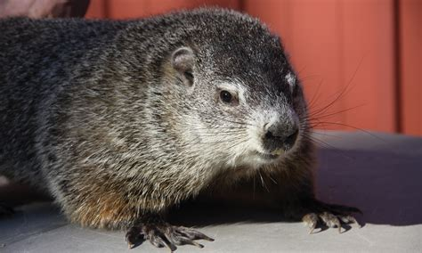 groundhog day accuracy buckeye chuck ohio s favorite groundhog ohioec org