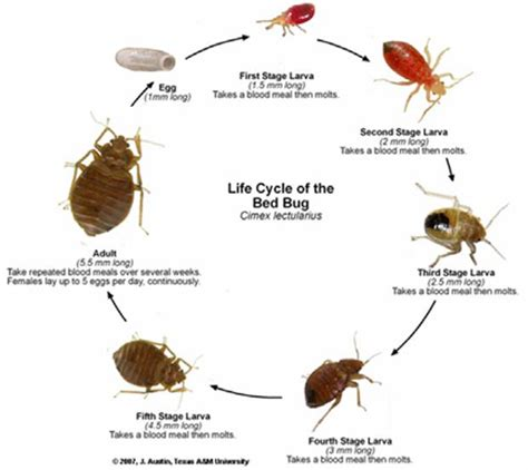 bed bugs alaska bed bugs bed bugs pinterest