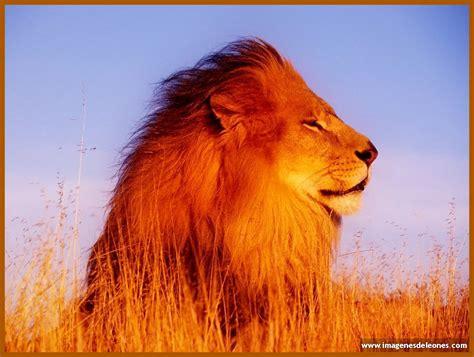 imagenes de leones lindas fotos bonitas de leones archivos imagenes de leones