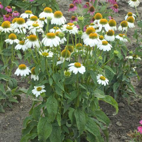 echinacea pow wow white  pot   plants