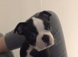 my puppy keeps biting me questions boston terrier at bterrier