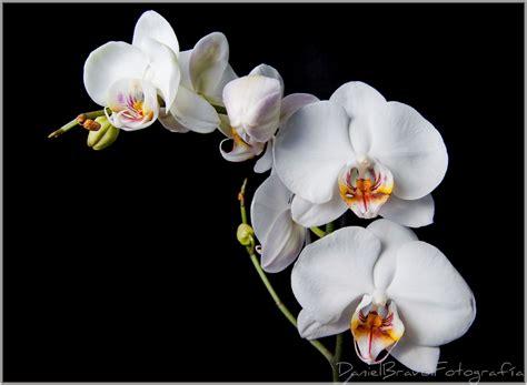 imagenes licras blancas image gallery orquideas blancas