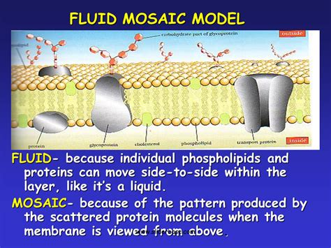 Mosaic Pattern Protein | plasma membrane gateway to the cell presentation biology