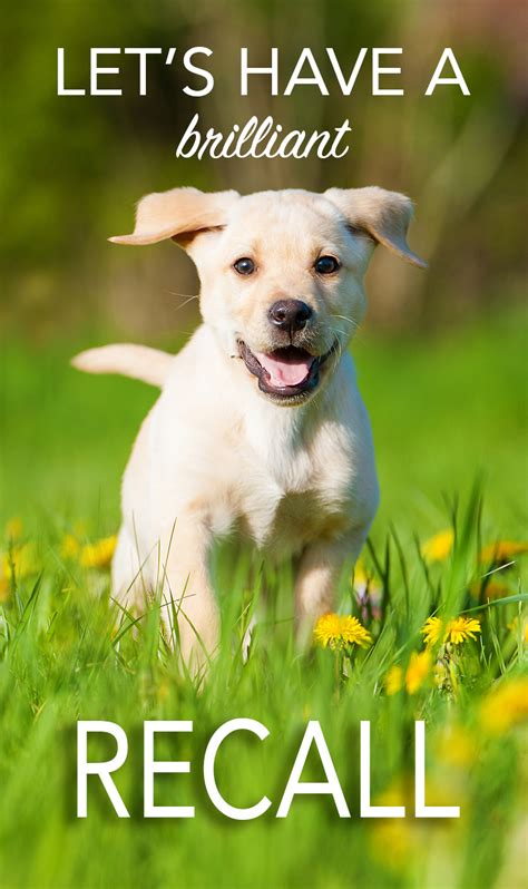 recalled dogs recall get a great recall with our tips and guides