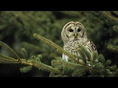 how to attract owls to your backyard best 25 bird calls ideas on pinterest pretty birds